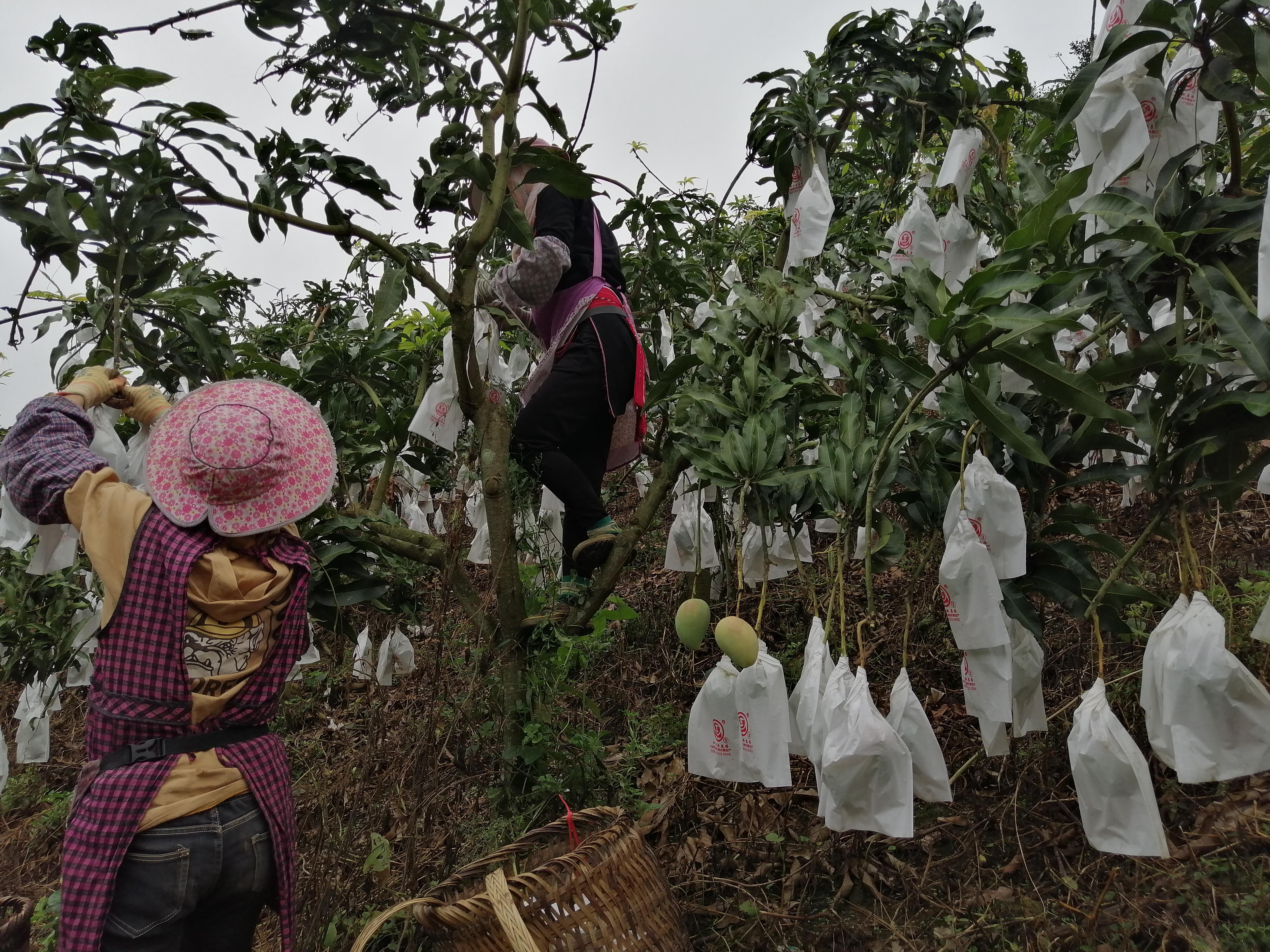 瑶山发展晚熟芒果产业 助推乡村振兴产业发展